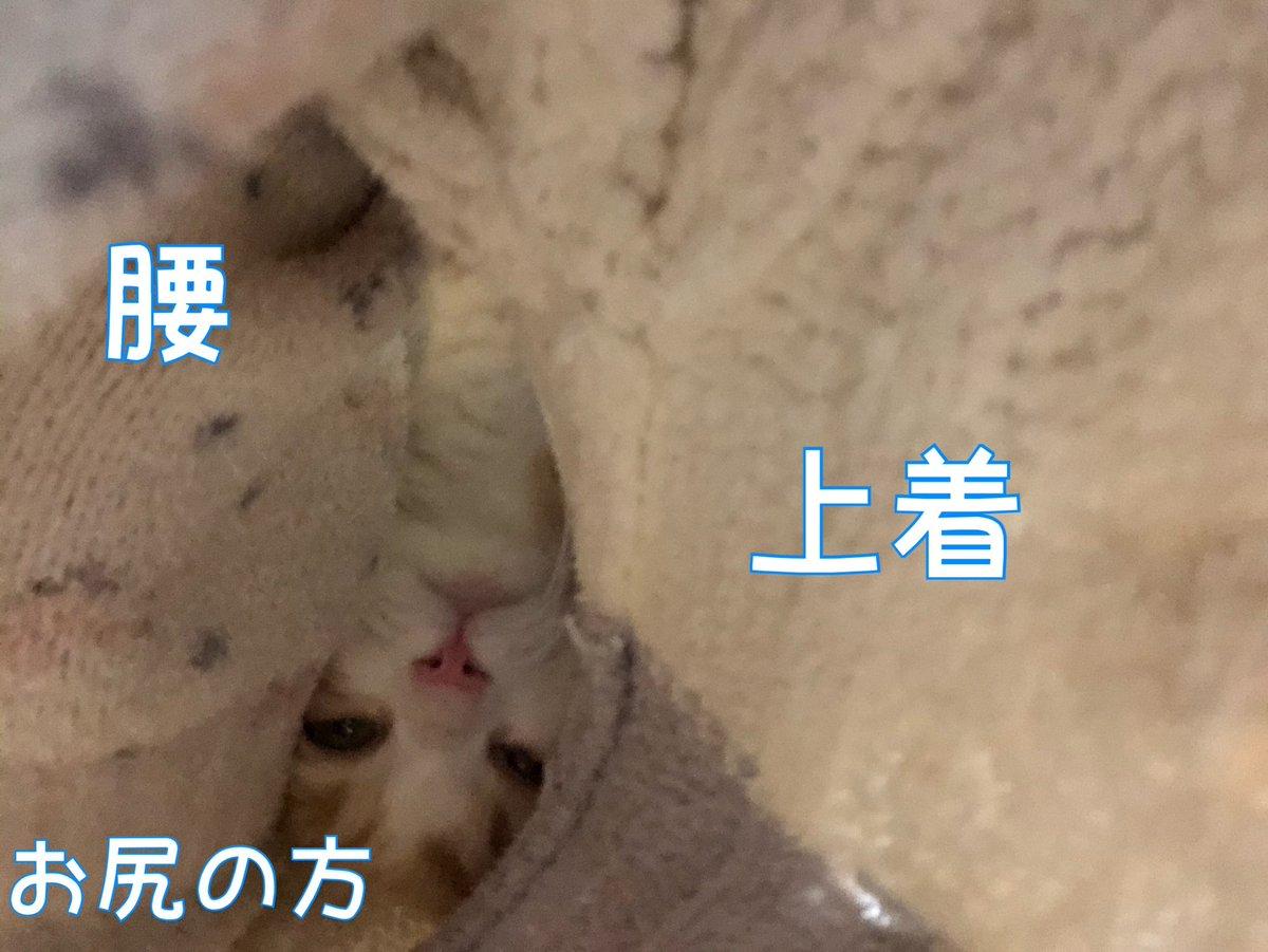 1ヶ月前の写真。 分かりづらいですが、服の間に入ってくるので、背もたれに寄り掛かれません。  #ドンちゃん #cat #猫のいる生活 #猫部 #猫のいる暮らし #ねこ様 #catlover #kawaii #kitten #CatsOfTwitter #猫見て1日つぶしたい #猫のいる幸せ #猫のいる生活 #CatsMovie #猫動画 #短足猫