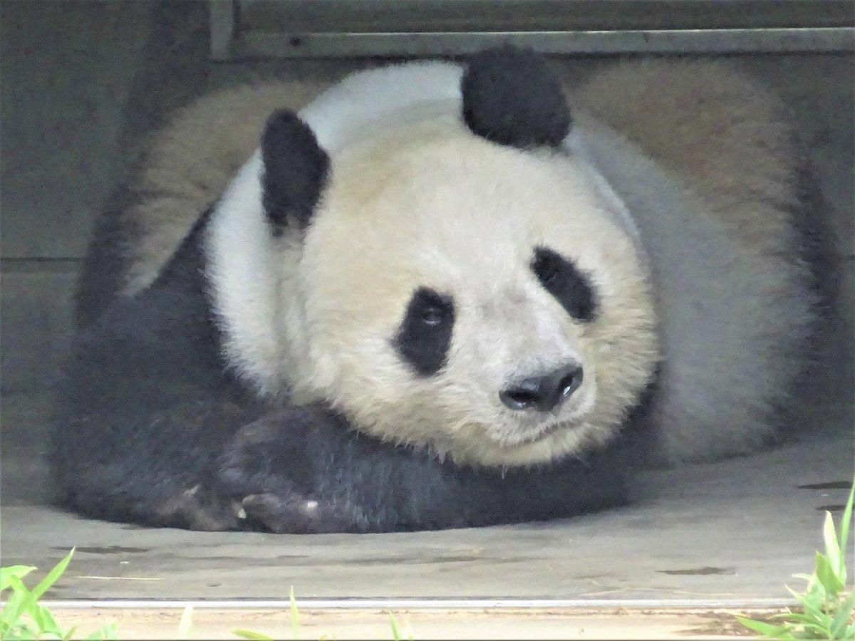 今日の午前中のタンタンです。陰で休んだり、お散歩したり。今日もマイペースに過ごしています😊#きょうのタンタン#ジャイアントパンダ #タンタン#王子動物園