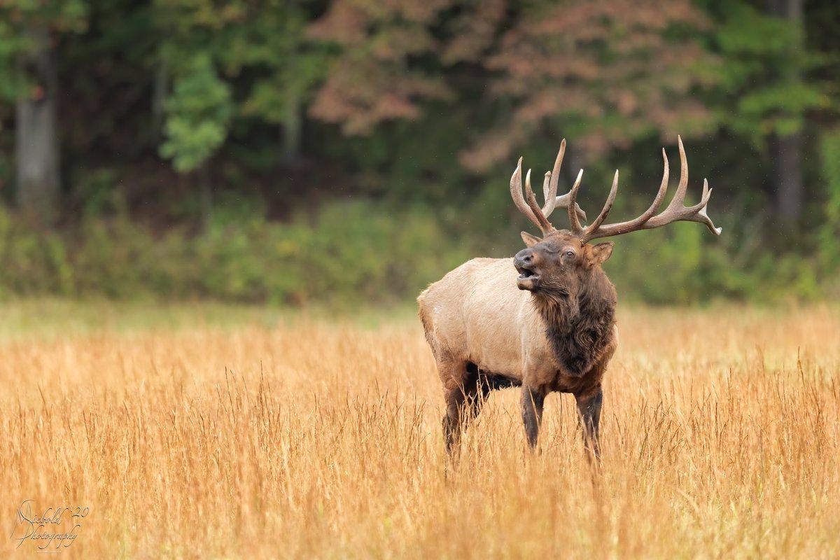 King of the Valley #nature #naturephotography #naturelovers #naturelover #wildlifephotography #wildlife #animal #animals #animallovers #animallover #animalphotography #animalkingdom #gsmnp #cataloochee #elk #optoutside #outside #outdoors #day #nationalpark #canonphotographypic.twitter.com/BmOCuYbzOo