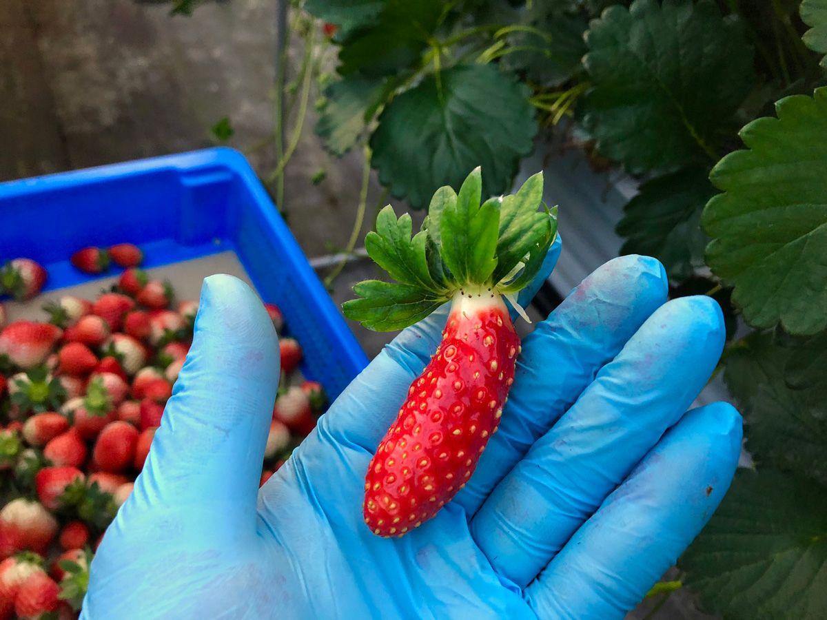 ちょっとかわいい「ぼくキュウリ」と思い込んでるイチゴ誕生 ひょろ長~く伸びた個性派イチゴが捕獲される  @itm_nlab