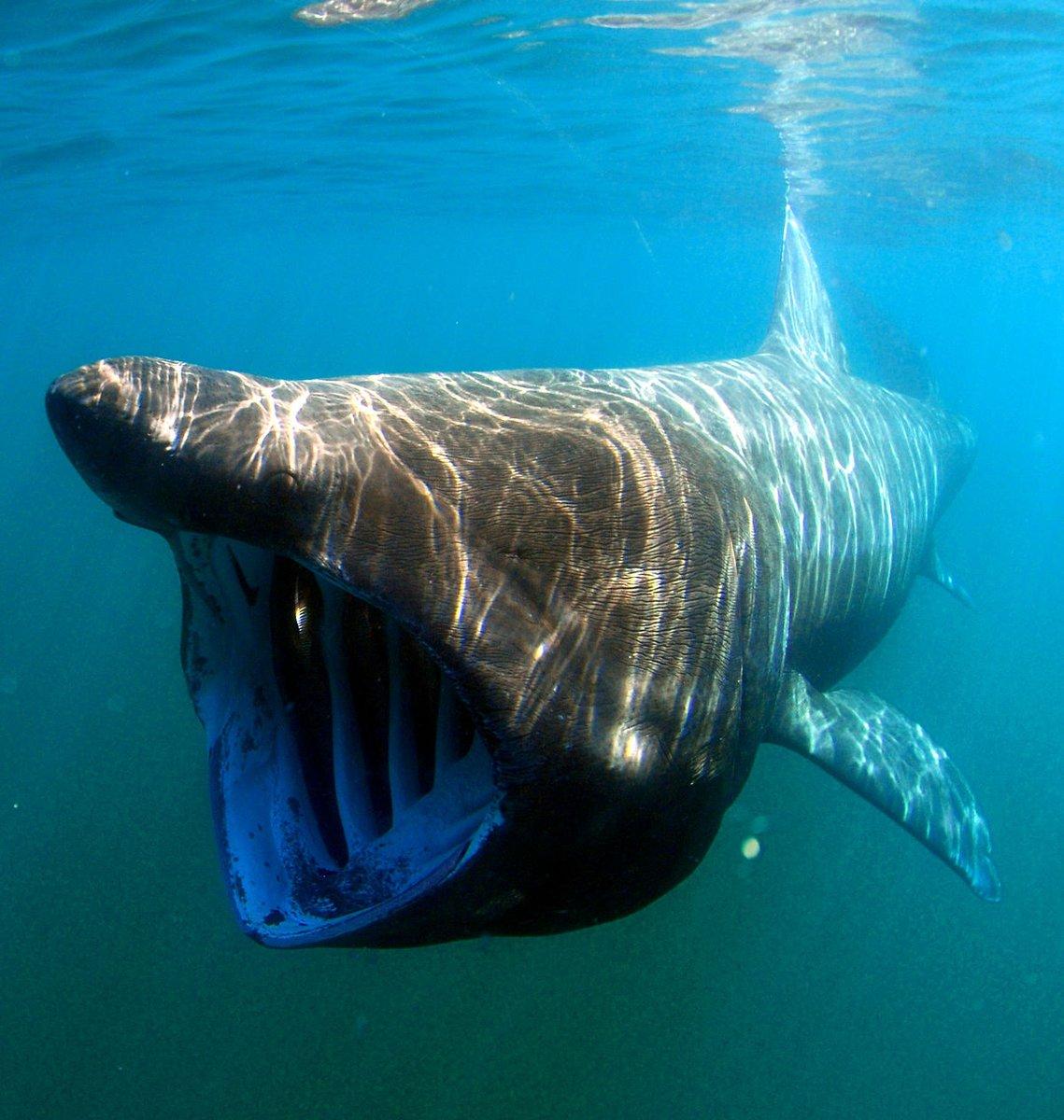 какие акулы водятся в средиземном море фото недоумевают, кем приходится