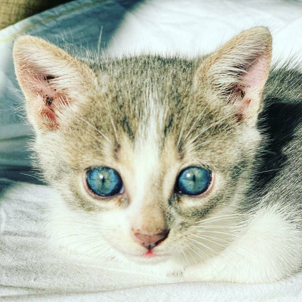 #Love those #blue #eyes #cat #catsofinstagram #kitten #kittensofinstagram #rescuedkittens  @arya_the_cat8