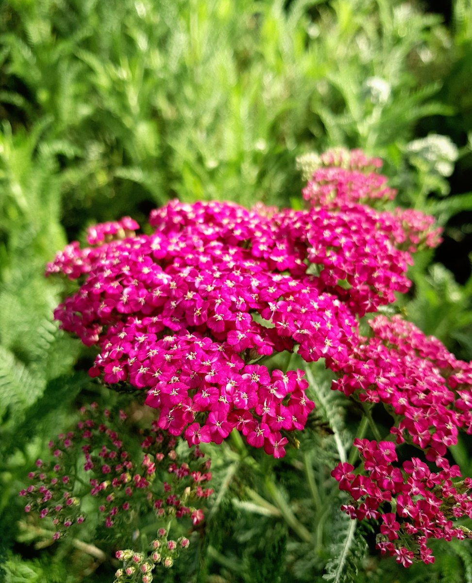 Yarrow 'Saucy Seduction' - How fantastic the colours are don't you think?  #nature #naturephotography #photography #travel #landscape #instagood #naturelovers #beautiful #art #ig #sunset #wildlife #travelphotography #sky #flowers #like #adventure #follow #naturelove #spring