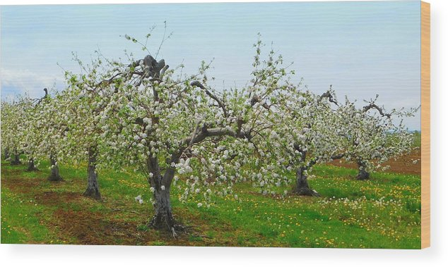 What gives me #HumpDayHappiness ? The beauty of #NovaScotia in #spring #orchards #blossoms #FarmLife #countrylife   #wednesdaymorning @FineArtAmerica #ThankyouFarmers #farmers