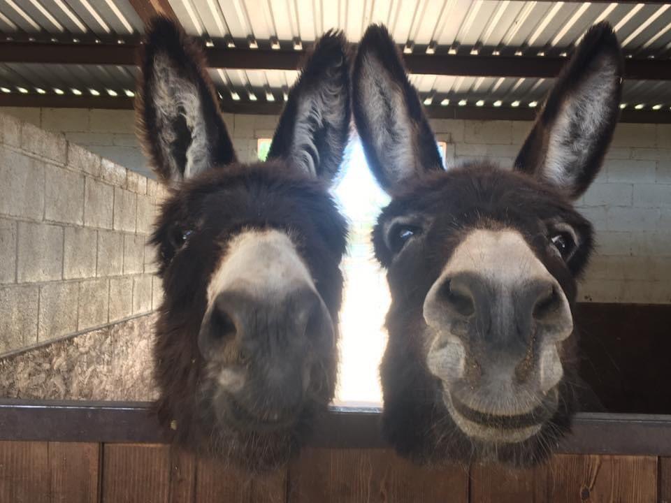 Donkeys of the Day  #donkey #donkeywelfare #donkeys #Eeyore #Ilovedonkeys  #donkeyrescue #donkeylife #donkeysanctuary #haven #donkeyhaven #donkeylove #donkeyphotography #animalphotography pic.twitter.com/ezY6p4yBH5