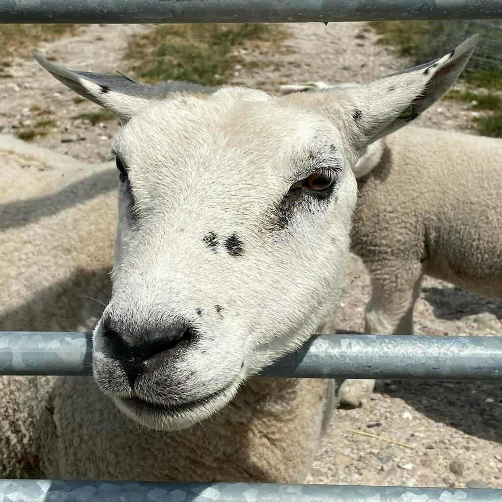 Have a wonderful day #schaap #schaapjes #sheep #sheeps #sheepsofinstagram #sheepstagram #dierenfotografie #dierenliefde #dierenvriend #dierenfoto #animals #animalphotography #animallovers #animalplanet #animals_captures #joketravel #eropui… https://instagr.am/p/CA9uLXNsX0d/pic.twitter.com/xc2CO4OgUg