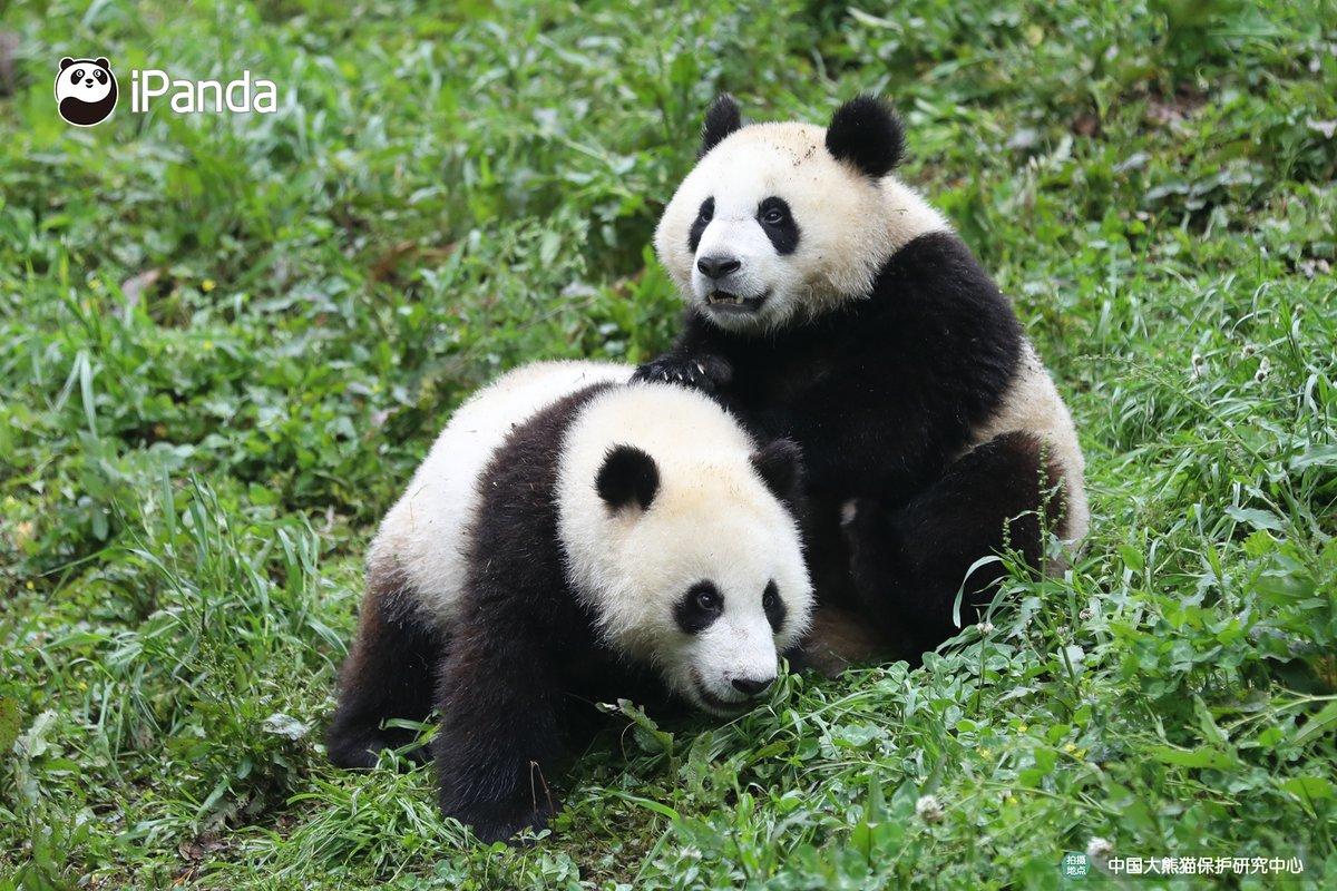 "OMG! A war between two pandas is on the verge! Are you two fighting for milk or bamboo?  號外號外!""青草地團子大作戰""一觸即發,欲知""戰況""如何?速來圍觀!  #panda #giantpanda #animal #China #travel #ipanda #cute #Sichuan #animalphotography pic.twitter.com/wA5iz4OBJx"
