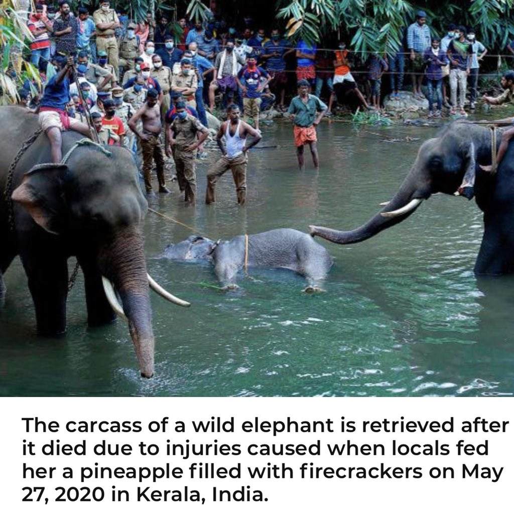 Just read about this news. Anguished to learn about this brutal animal abuse. Locals fed a pregnant #Elephant with pineapple filled with firecracker that exploded in her mouth & she died standing In river. #Elephants #Inhumanity #จองแซมมุล #nycprotestspic.twitter.com/RxUY74TzWv