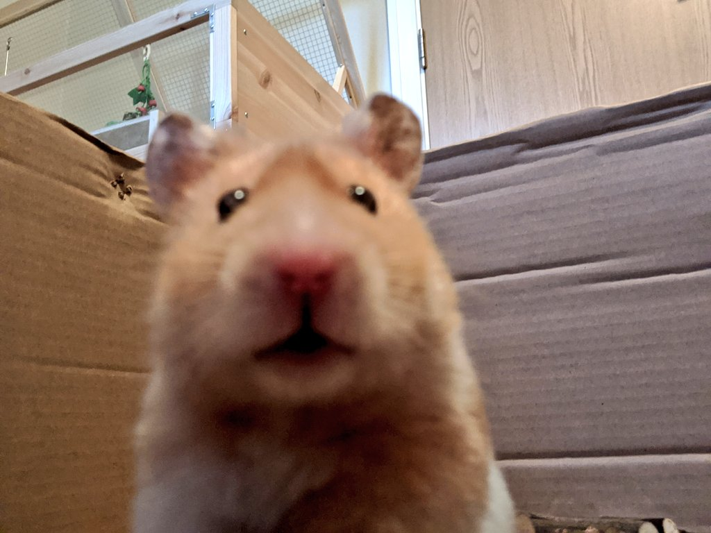 @IrvineJackie He's in good form and is becoming more of a confident lil chappy 🐹☺️