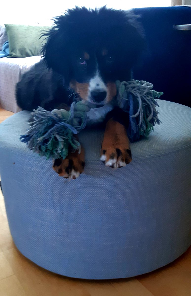 Back home. Missed my toys and my footstool! #bernesemountaindog #puppies #HomeSweetHome pic.twitter.com/vm1XvEVQYy