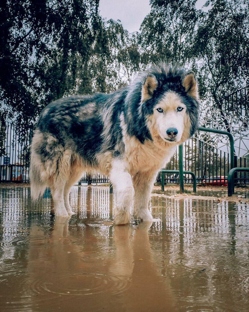 Морской волк #huskydexter . . . . .  #instagramdogs #petstagram #dogs_of_instagram #puppylove #weeklyfluff #ilovemydog #doglovers #dogoftheday #dogsofig #doglover #doglife #instapet #lovepuppies #petsofinstagram #dogslife #puppies #bestwoof #petsagram #d… https://instagr.am/p/CA-SfQ7H-2W/pic.twitter.com/svVdeFP84P