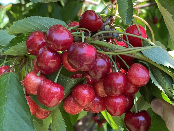 Seamless transition from California to Northwest cherry crop expected - @OppyProduce https://t.co/JjHFkbqBq6 https://t.co/688W4kATqf