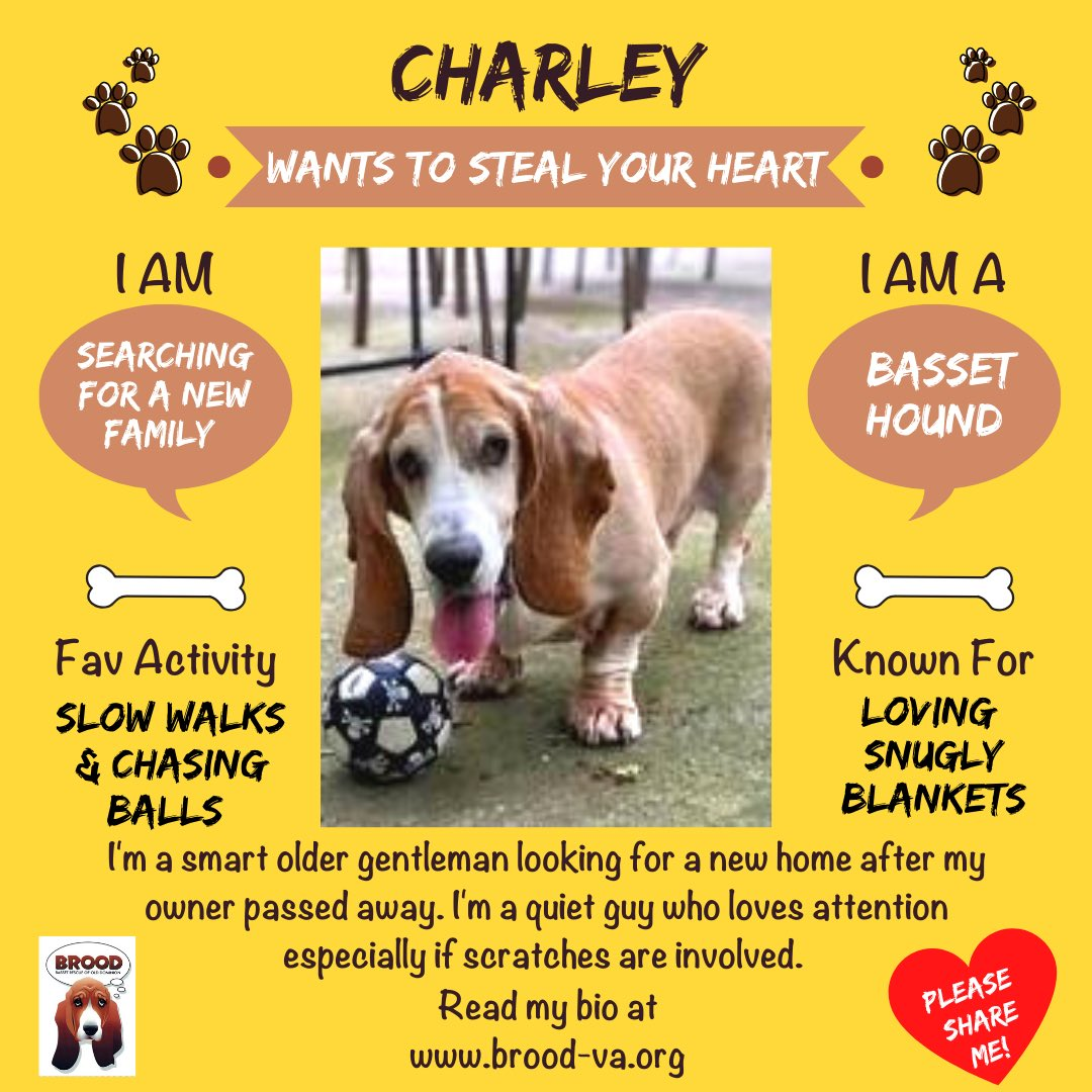 I'm Charley, a 10 yo classic #basset looking for a forever home after my owner passed. I'm a quiet, friendly, laidback dog who loves snuggles, leisurely walks, & chasing balls. I get along w/ laidback dogs but would be happy as an only dog. #adopt me at !🐾