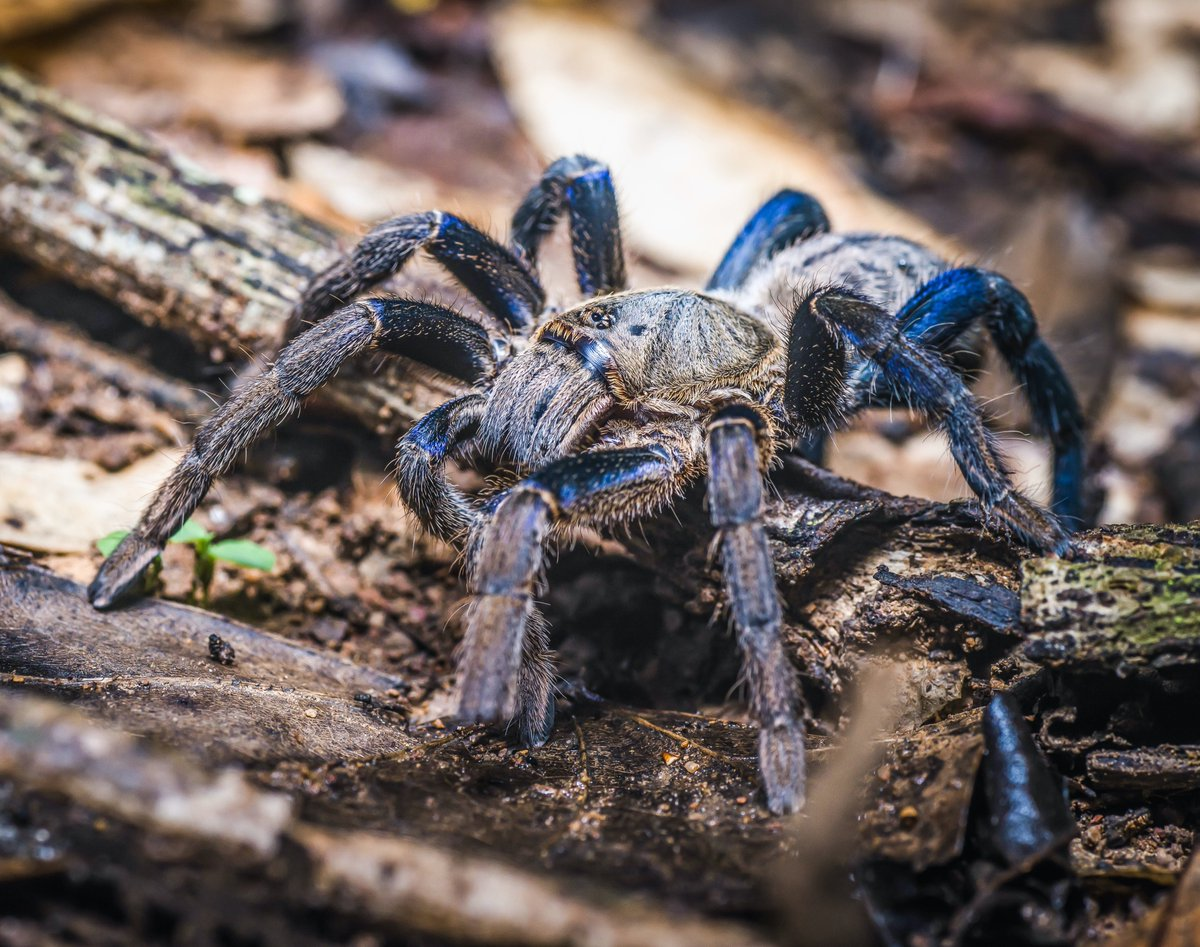 The cobalt blue tarantula is a medium-sized spider noted for its iridescent blue legs and light gray body. Sometimes it is marked with darker gray chevrons. It has a potent venomous bite, but to date has never committed murderous acts against people of color. #BlueLivesMatter<br>http://pic.twitter.com/nSFJ5tLQS1