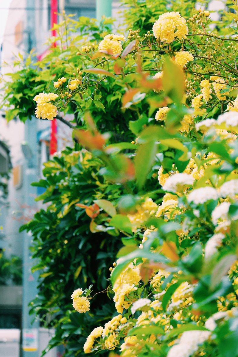 近所の軒先。  #写真 #スナップ写真 #花 #コンデジ #photo #leica