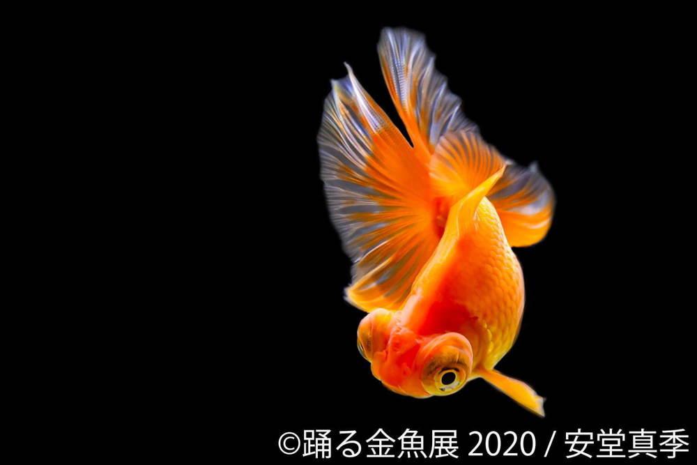 """「踊る金魚展 2020」東京&名古屋で、金魚が泳ぐ""""一瞬の美しさ""""を捉えた写真やグッズを展示販売 -"""