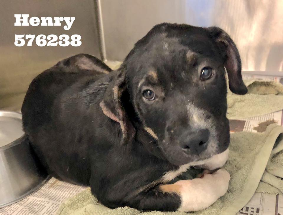 🚨🆘👇🏻Just 2 of the many at #SanAntonio #Tx who will 💉if no1 comes ☹️😖😭 Just look at them—they know they're in trouble 😖 It's sickening the way we make pups feel👿 Henry & Buddy need a 🦸♀️ 🦸♂️🚨🆘👇🏻 #retweet Life 4 them—not the searing burn of a 💉of pentobarbital 🙏🙏 #CAPA 🙏