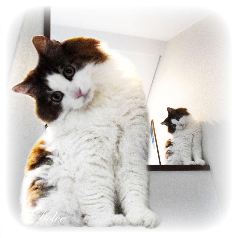 階段の上で、こんなポーズ。  猫バカはノックアウトされてしまいました   #猫好きさんと繋がりたい #猫バカ  #漫画家 #広報漫画 #猫 #cat  #かわいい #イラスト #漫画 #ドルチェ  #ノルウェージャンフォレストキャット pic.twitter.com/TpWUCW8YPg