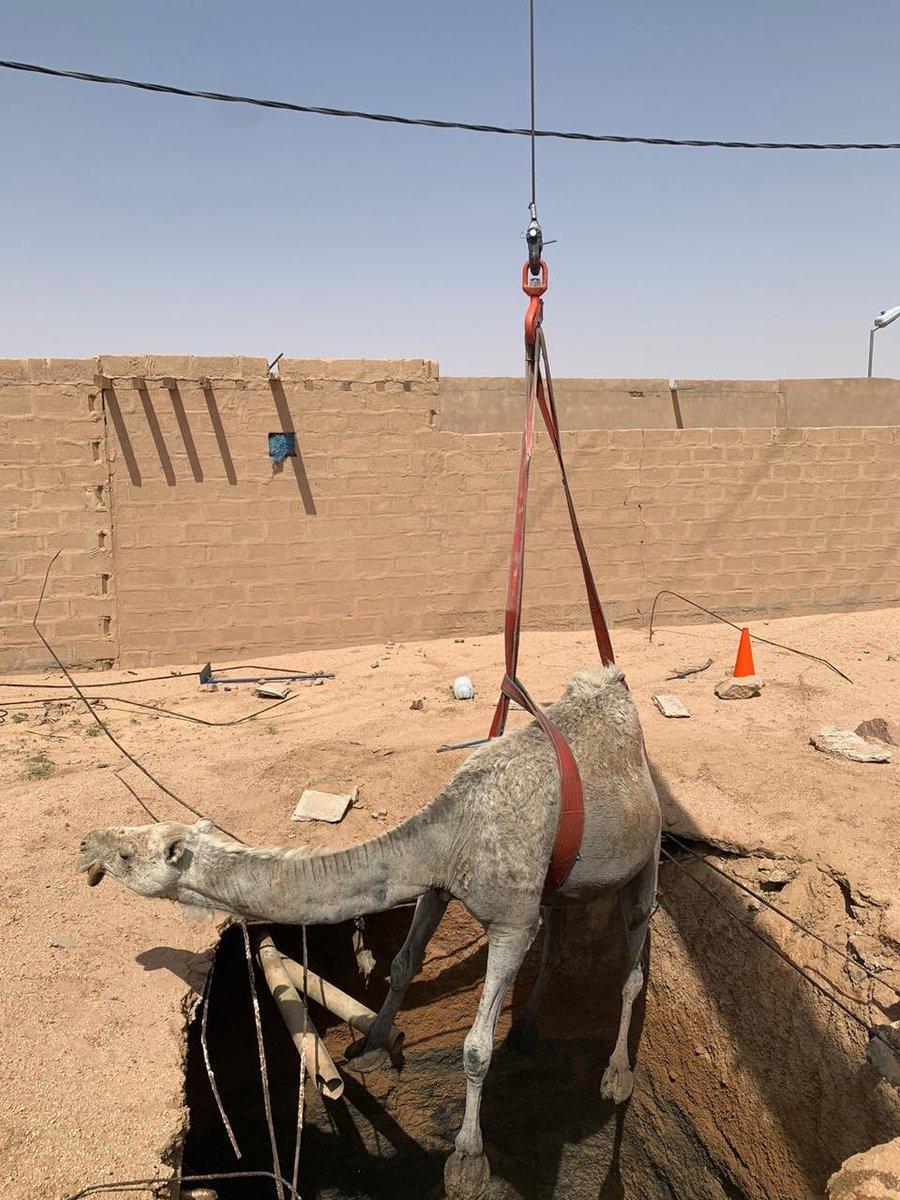 مدني #الرس ينقذ ناقة سقطت في خزان صرف صحي بحليسه https://t.co/qCwKHPu5KB #القصيم https://t.co/X5sU4EOEEj
