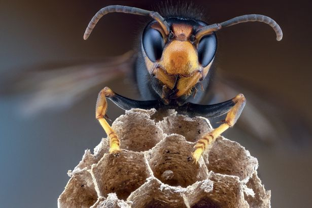 Possible Asian Hornet nest found in UK - what to do if you spot the terrifying insects