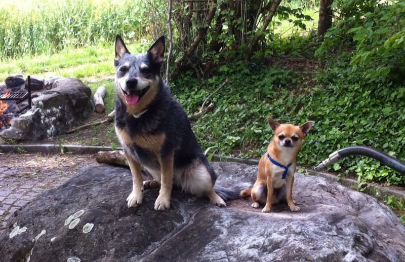 For this #ThrowbackThursday a picture of Embers 🐶🌈 and Arrows 🐶 first meeting in June 2015.  #RipEmber #RIPEmber 🌈  #ACDS #cattledog #AustralianCattledog #BlueHeeler #heeler #Chihuahua #dogs #dogsoftwitter #dogcelebration @dogcelebration