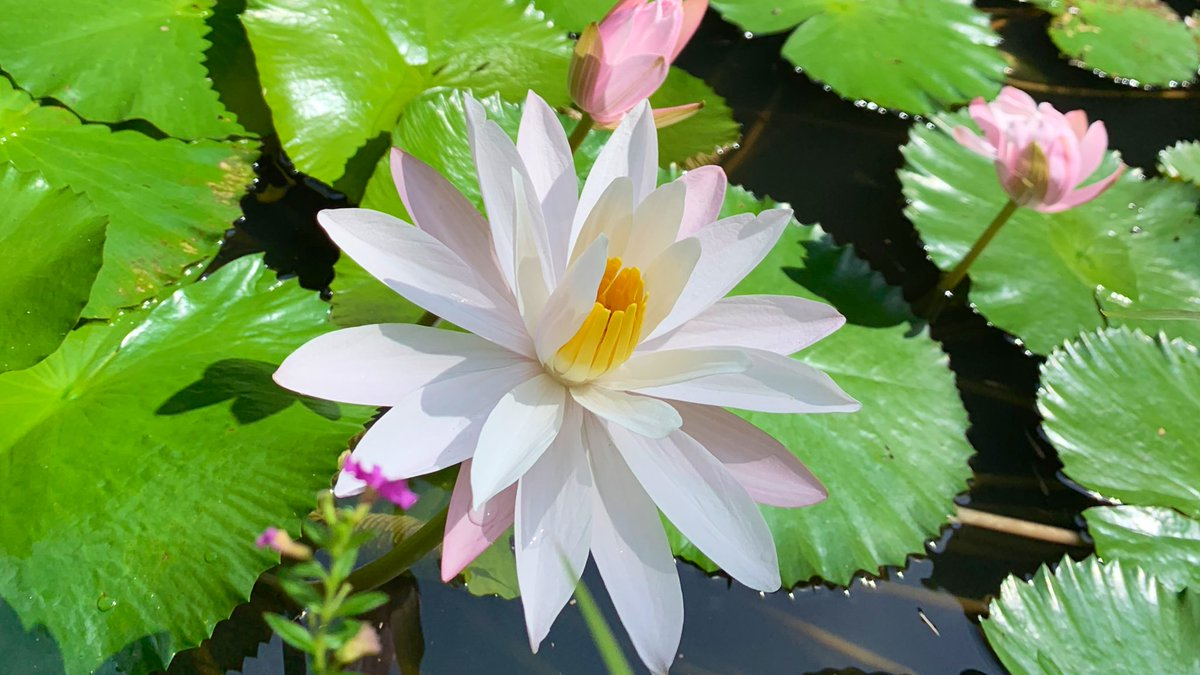 Lotus plants are symbolic in both the ancient and modern world, and are celebrated for their beauty both in art and religion and have an obvious cultural connection with Bali https://www.baliadvertiser.biz/lotus/ #VisitBali pic.twitter.com/XBXP68ivBw