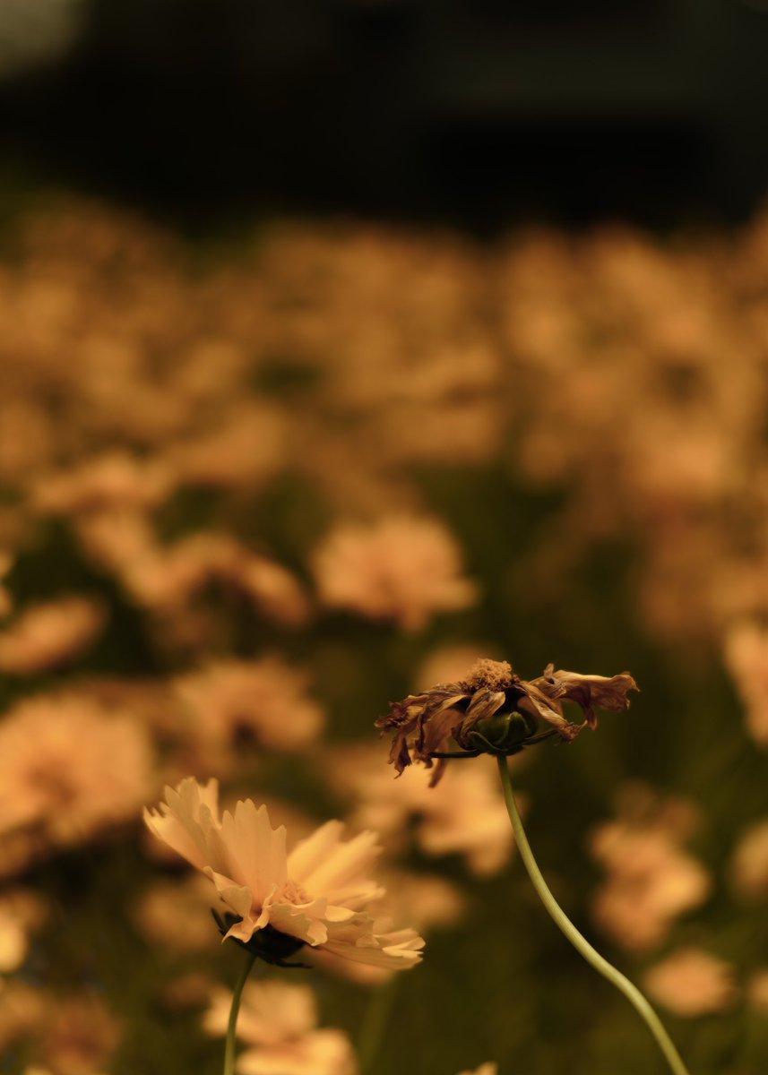 Flower   2020 https://instagram.com/p/CBAwbHIHqR7/ #streetphotography #streetsnap #sigma #sigmaphoto #sigmafp #ファインダー越しの私の世界 #キリトリセカイ #写真好きな人と繋がりたい #flower #花 #cinema pic.twitter.com/U6tBrvVJzr