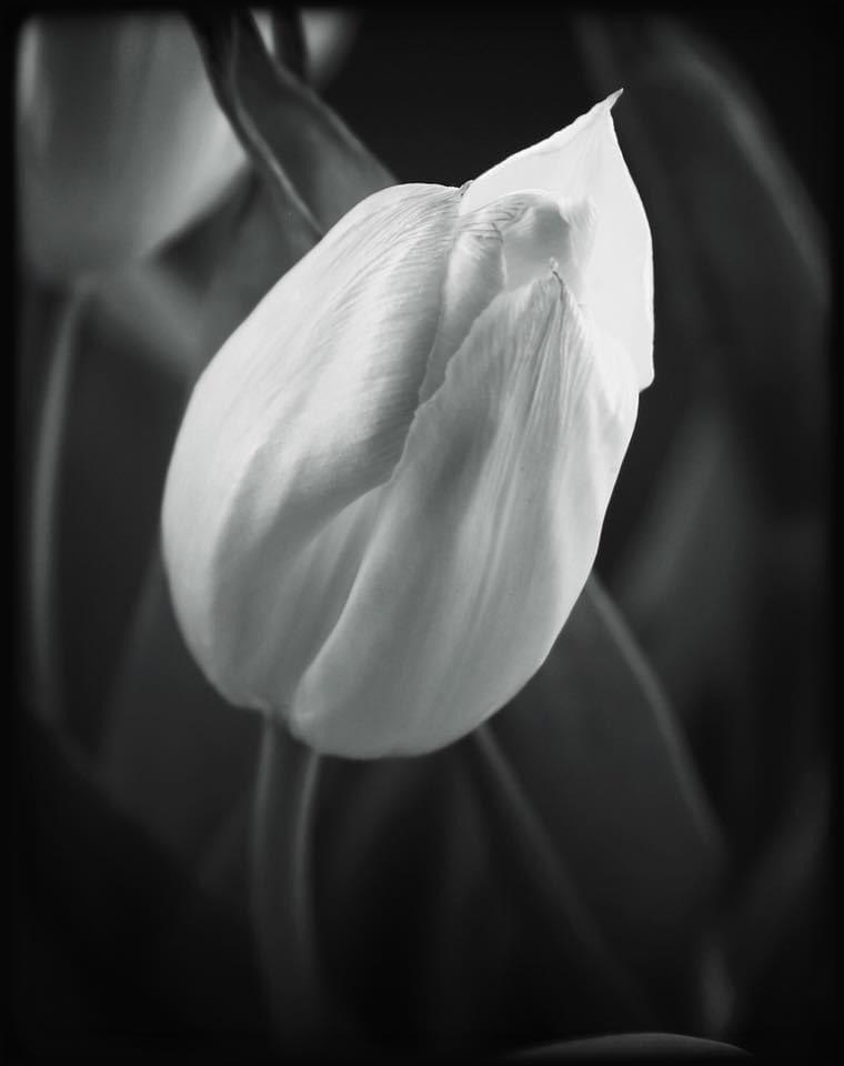 ... until the end of time ... #tulip #flower #flora #closeup #macro #stilllife #studiostill #bw #blackandwhite #photography #monochrome #mood #atmosphere #silence #serenity #peace #dream #beauty #secret #life #love #hope #imagination #symbolpic.twitter.com/AsfoMy1Ibi