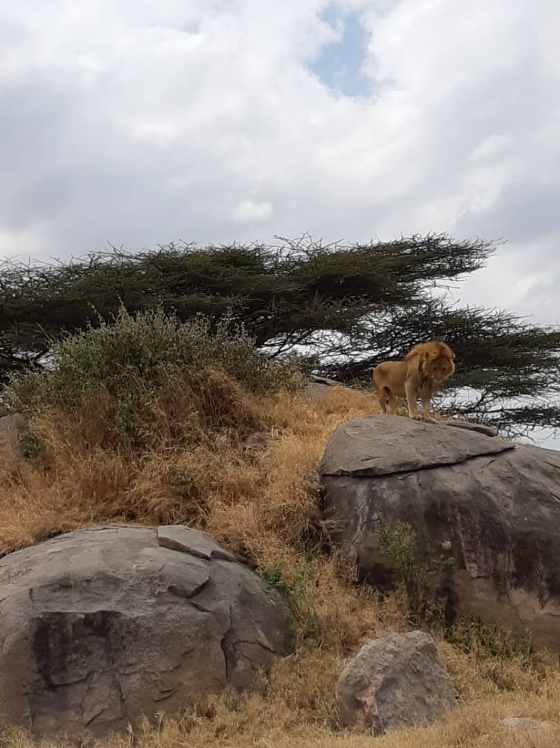 Combination of hunting technique  includes camouflage, spotting point, stocking, ambush & so on, male lion at the viewing point- https://t.co/4fu8lHnXne #holidays #safari #photographers #naturelovers #africa #beautiful #seetheworld #adventure #wilderness #nature #travel #journey https://t.co/ZEBu7BMCQd