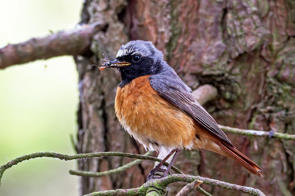 Redstart (Phoenicurus phoenicurus) with recently fledged young Taken on Cannock Chase, Staffordshire, UK 04/06/2020 @Staffsbirdnews @StaffsWildlife @WestMidsBirding @WestMidBirdClub @BirdGuides  #Redstart #CannockChase https://t.co/gE2ej2zTsN