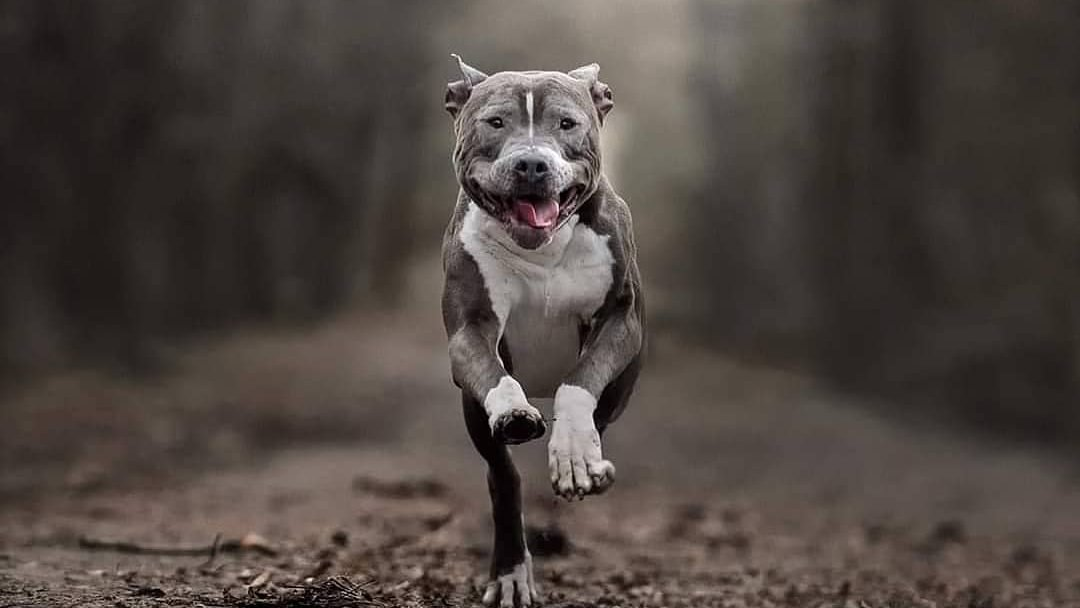 American Staffordshire Terrier or Staffordshire Bull Terrier? Easy to Answer. Comment below👇  #pitbull #dogs #dogsoftwitter Credit: IG/amtaffyniczyje
