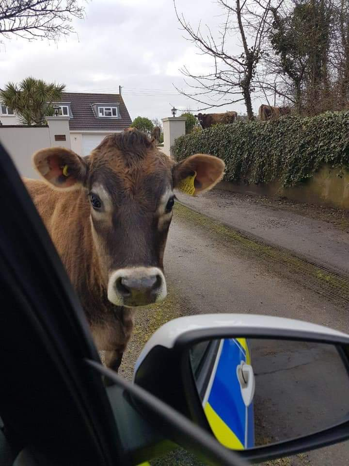 One from the archive but what's going on here?? captions please . #Jerseydairy #jerseycow #jersey