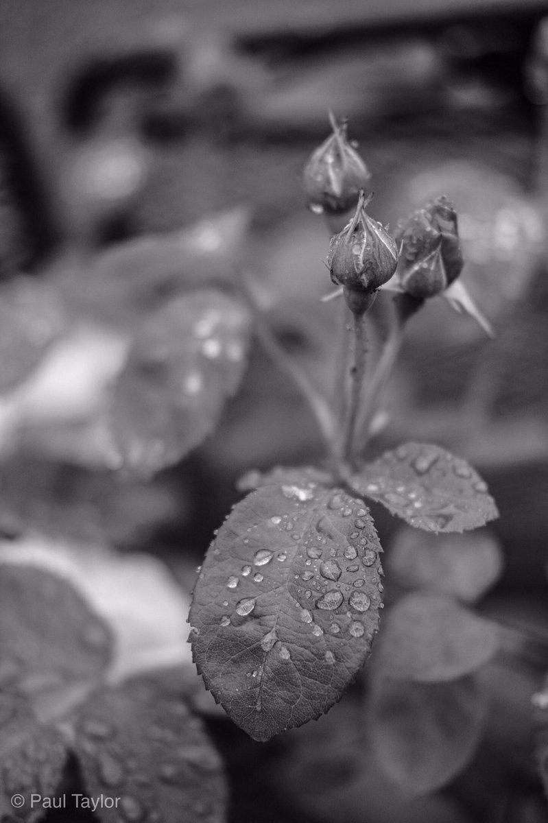 (3/50) 5050project10 Much needed rain has arrived for the Roses . . .  #fujifilm #fuji #fujilove #fujifilmx_uk #fujifilmeu #xpro2 #xf35mmf2 #_53mm_ #fujiacros #fujixnet #shareandexhibit #5050project10  #leicester #leicestershire #blackandwhitephoto #rose #rain #ThePhotoHour https://t.co/TyV9Ox2nJR