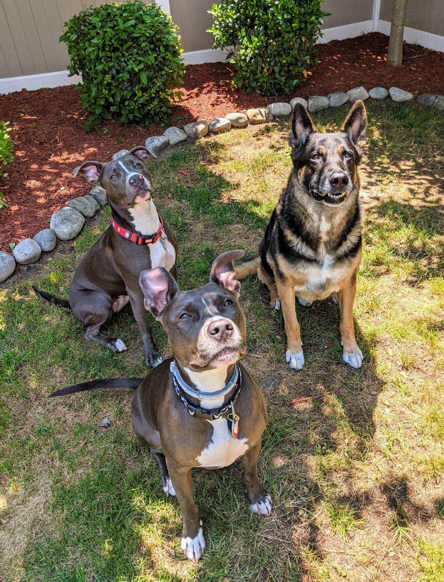 Best friends at daycare ❤️ Pupcare pics are my favorite #doggydaycare #dogs #jeezlouise #thelmaandlouise #pitbull #germanshepherd