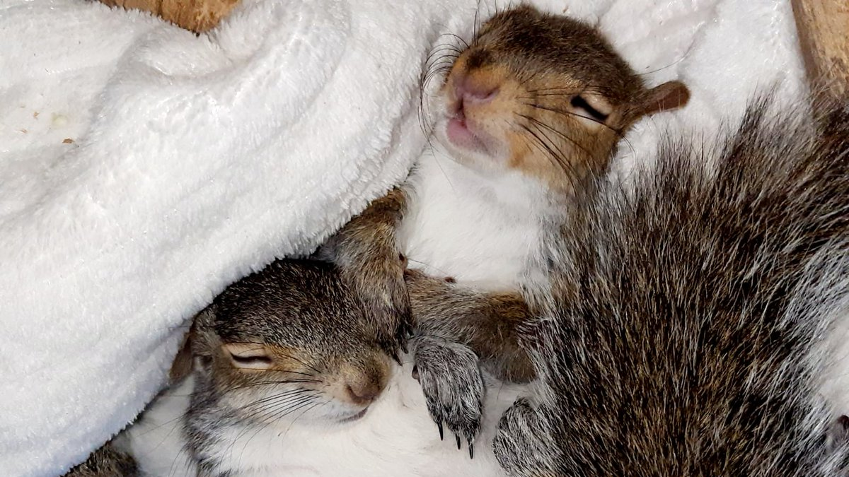 GREY SQUIRRELS PUT THEIR HEART INTO EVERYTHING THEY DO! When they play, they fly around, when the sleep, they look like they are really enjoying their sleep. Life life to the full! #urbansquirrels #animals pic.twitter.com/8AYJCioMEo