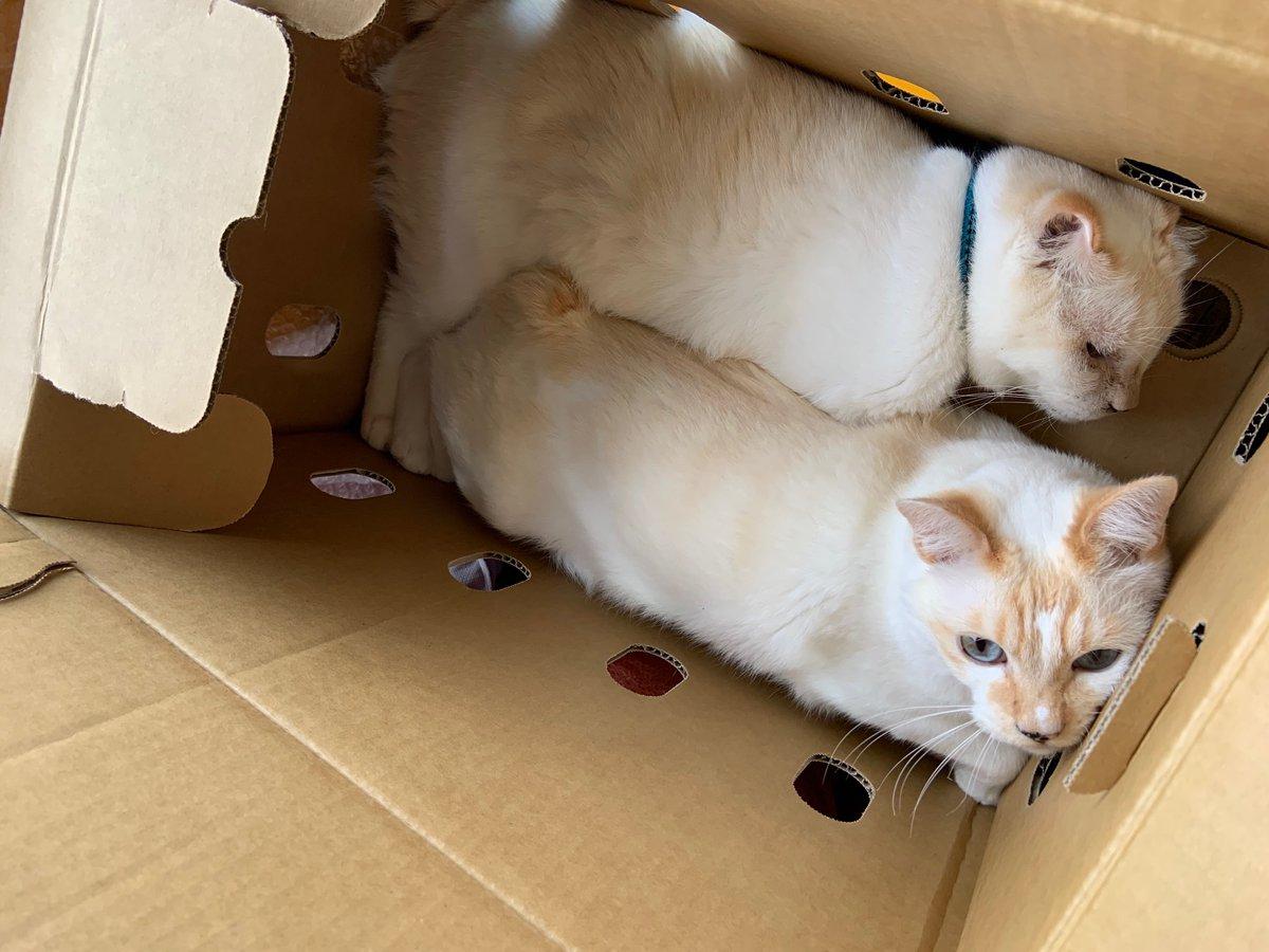捨て猫…? ではございません(笑)箱好きな2匹のネコです!なので、なかなか荷物の整理ができませんが穴からちょっかい出してみます今日の話は【シーバー病】自粛期間中にしっかり休養したのに…まだ痛む…なぜ?  ↓  ↓  ↓#ねこ#シーバー病#踵の痛み
