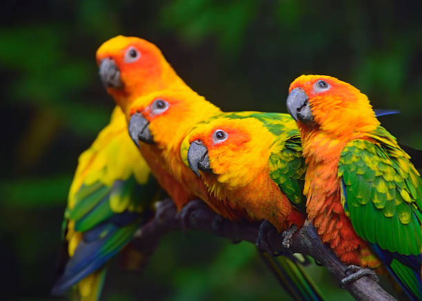 Bird Trivia Covid 19 Edition Day 79 Yesterdays Answer: 19 Question 73: What is the common name for Lonchura Oryzivora?