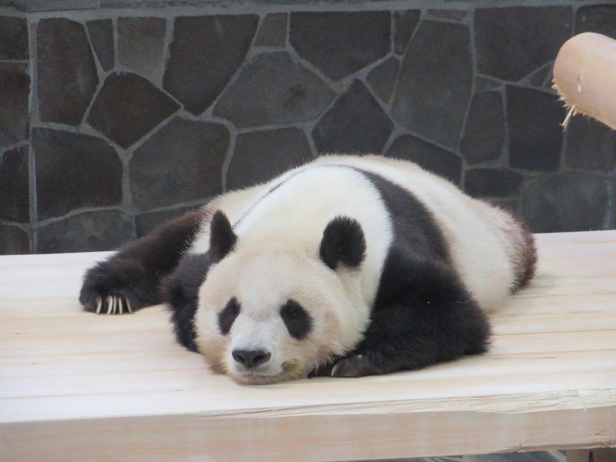 たんたんさん、ただいま熟睡中でございます😊この表情こそ #眠れる森の美女パンダ の余裕なのでしょうか(笑)#きょうのタンタン #王子動物園#いい夢みろよ