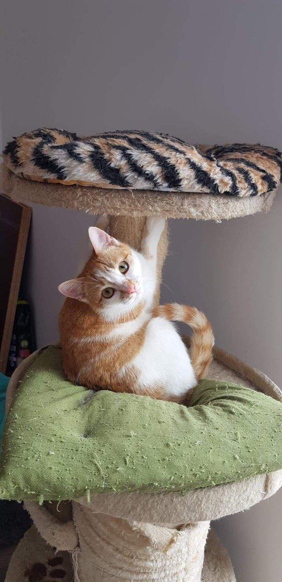 Die kleine Prue sucht ihre ganz eigene Familie! Prue wird als perfekte Katze beschrieben. Sie liebt Menschen & braucht viel #Liebe ♥️ #cat #CatsOfTwitter #catoftheday #caturday #kitten #babycat #kittenlove #catlover #tierschutz #AdoptDontShop #rescue #rescuecats #animallove