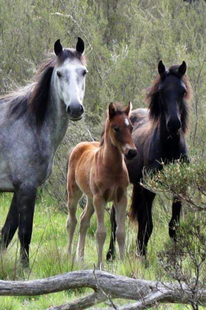 Living in country Australia there must be a more sensible solution then culling these horses that really do jack all harm compared to a lot of other animals that actually harm and interfere with crops, feed which then harms farmers livelihoods.   #BrumbiesBeBacked https://t.co/sgeXylBRhn