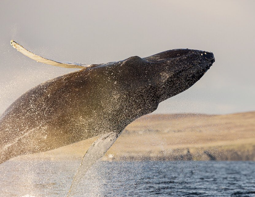 Breaching #Humpback #whale off #Fetlar, November last year. Probably the most spectacular encounter I've ever had. This weeks sightings off #Shetland reminded me of this epic day. Fantastic to see these magnificent creatures doing so well and becoming more regular in #Britain pic.twitter.com/ZRE1FwbNr6