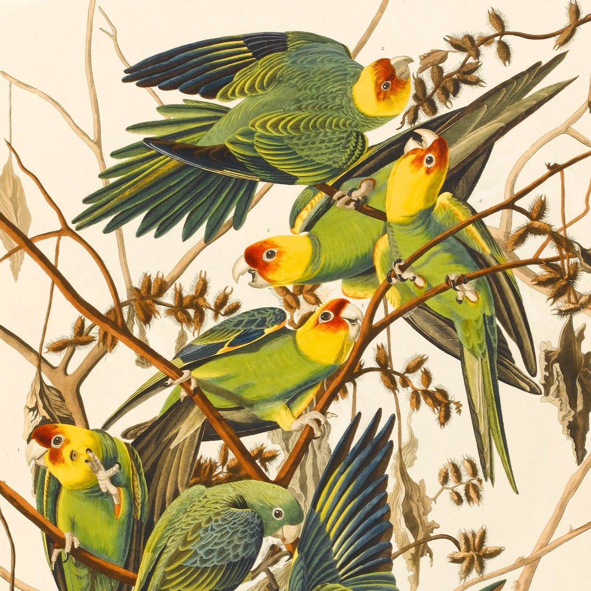 #WorldEnvironmentDay2020 #biodiversity   John James Audubon's Birds of America (1826-1838) is the rarest & finest ornithological work ever published. Its 435 hand-coloured plates depict 495 species, 25 of which Audubon discovered himself.   Carolina parrots & cocklebur.pic.twitter.com/qFME4SQcM7