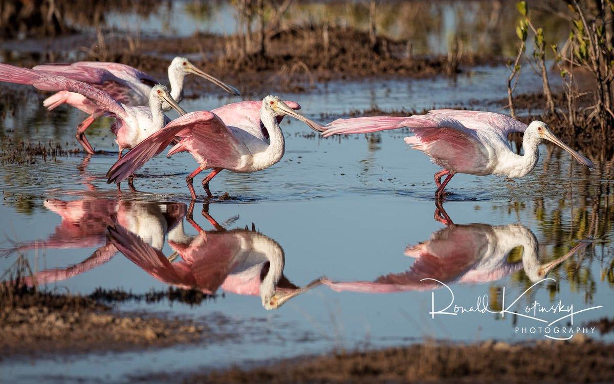 Marsh of the Spoonbills - Merritt Island - Florida   @audubonsociety @AudubonIntl @NatGeoPhotos #natgeoyourshot  @CanonUSAimaging @NatGeo #canonfavpicpic.twitter.com/QPXa5X1iW8