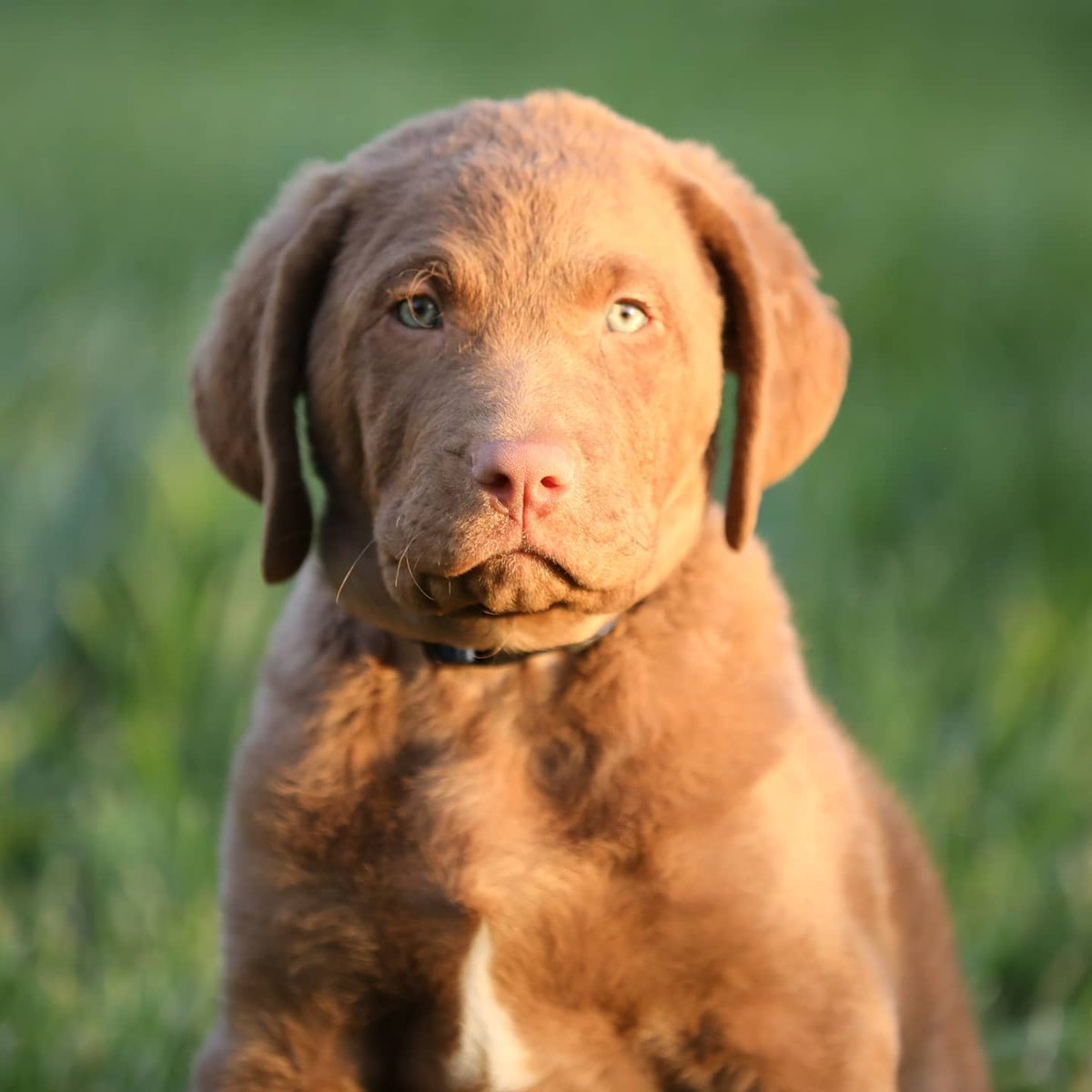 Say hello to Magnus, the newest member of the Caesar Guerini family! Magnus is a Chesapeake Bay Retriever who will be turning nine weeks old and already a beloved addition to the team here at the office. #CaesarGuerini #chesapeakbayretriever #retriever #puppypic.twitter.com/AmcXKuFVEw
