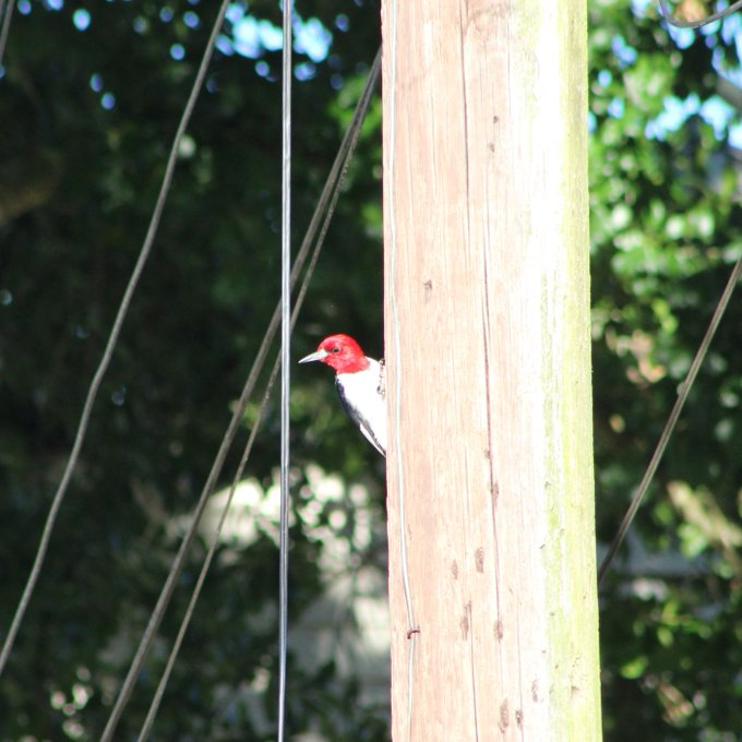 Red-headed woodpecker on a telephone pole