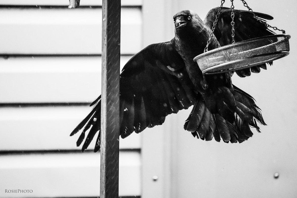 Who's gonna tell him he's too big for that feeder? #jackdaw #corvids #corvid #TwitterNatureCommunity #wildlifefrommywindow #bbcspringwatch #SpringWatch #BreakfastBirdwatch #BBCWildlifePOTD #natgeoyourshot pic.twitter.com/AnAuMHWdJ6