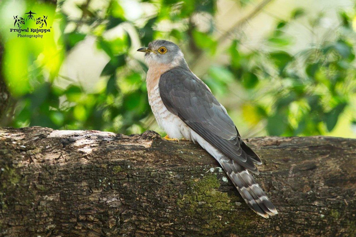 Comman hawk- cuckoo #Nilgiris #bbcearth#wildlifephotography #wildlife#prajwalrajappa#prajwalrajappaphotography#natgeo #natgeoyourshot#yourshotphotographer #natgeotravel #natgeowild #naturephotography #natural #nature #viewbug#wild#beautiful#awesome#canon#canonphotography #canonukpic.twitter.com/iC595Aqq8C