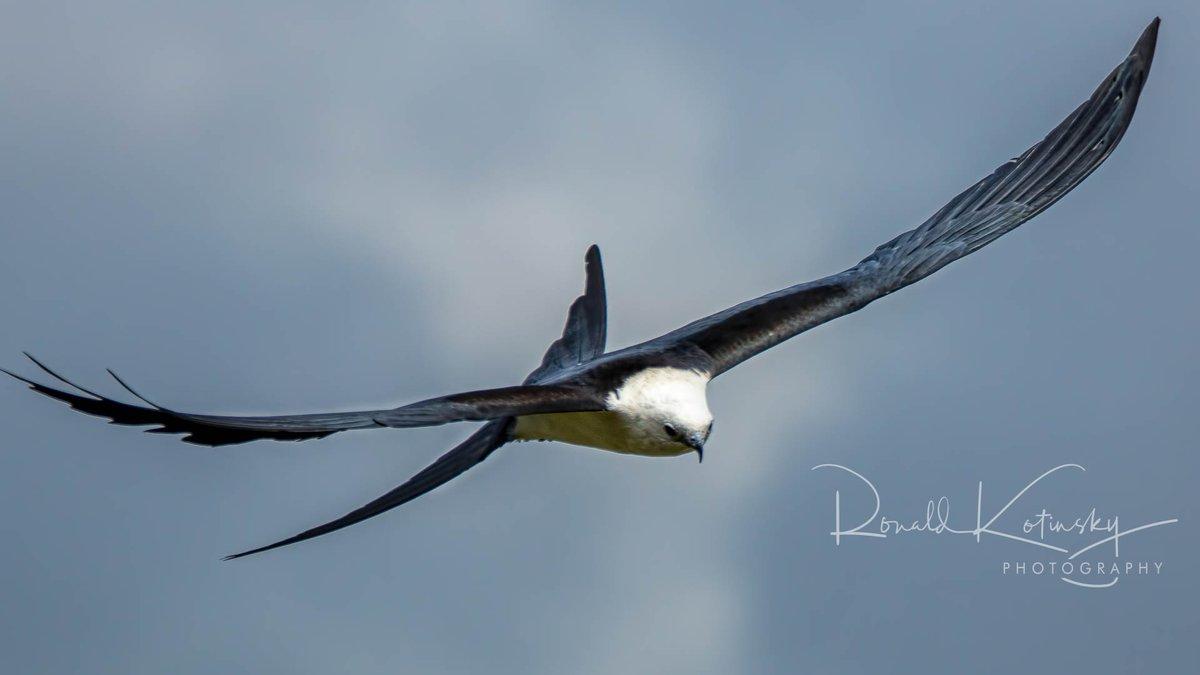 The Grace of the Swallow-Tailed Kite - Florida   @audubonsociety @AudubonIntl @NatGeoPhotos #natgeoyourshot  @CanonUSAimaging @NatGeo #canonfavpicpic.twitter.com/ZtSyQ1DBmo