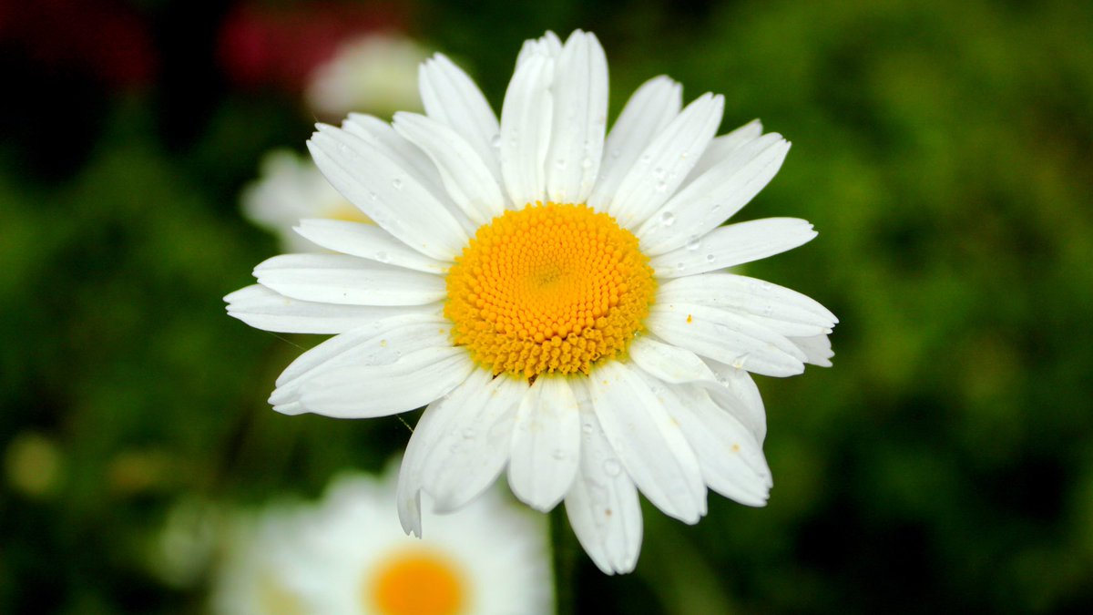 Daisy on a dull day still looking sunny #Flowers #Daisies #gardening #photooftheday pic.twitter.com/5OL4Nj0Dg0