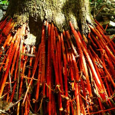#Wasai- Great for #kidney #health, the #root of the wasai tree is often ground up and prescribed as a #diuretic. https://t.co/FmsAumvZi3